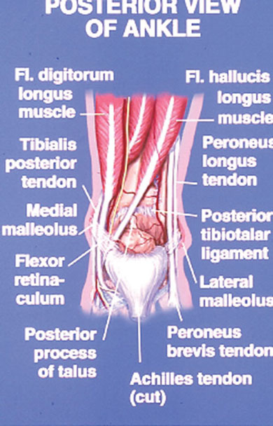 Schematic of the anatomy of the posterior ankle