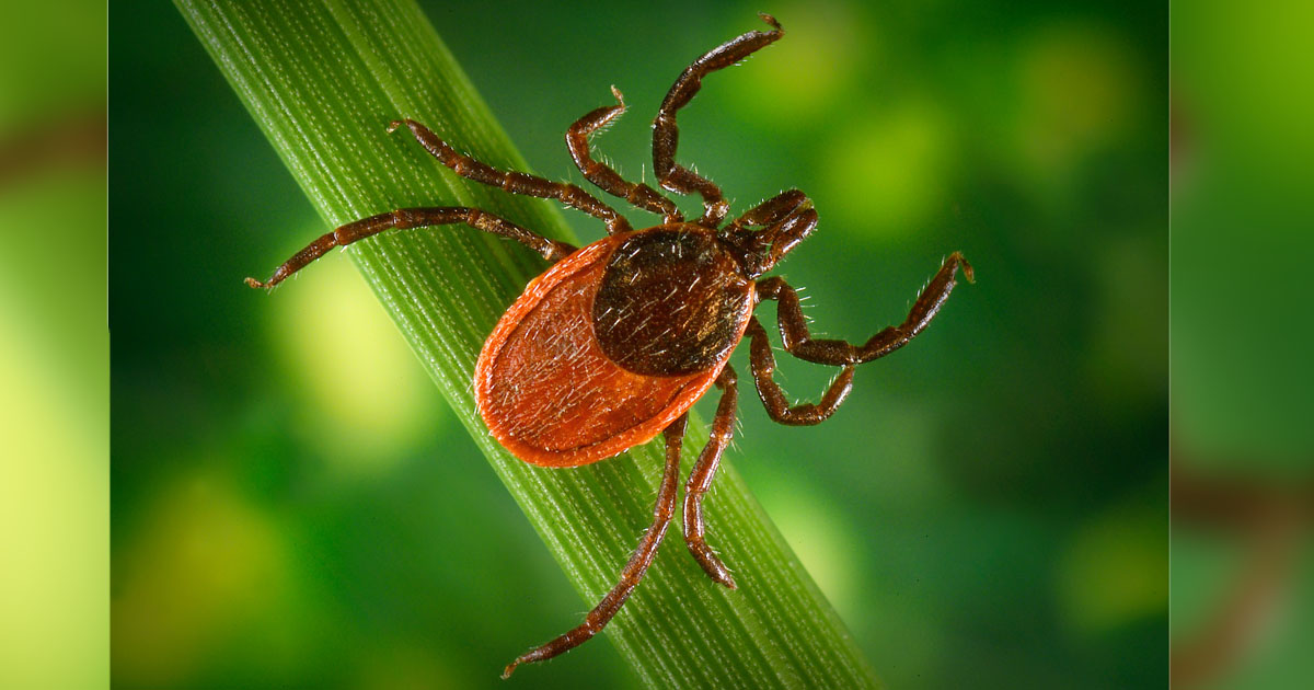 Almost half a million Americans are diagnosed each year with Lyme disease, which is commonly spread by the blacklegged tick.
